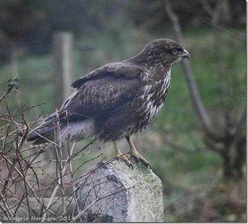 2 buzzard (2)