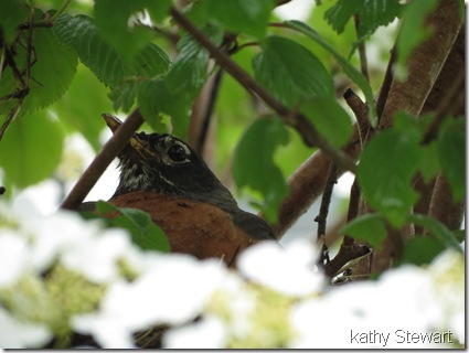 Robin on a nest