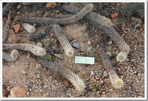 120728_ArizonaSonoraDesertMuseum_Stenocereus-eruca_01