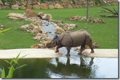 2011.07.26-036 rhinocéros indien