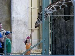 0259 Alberta Calgary - Calgary Zoo Destination Africa - African Savannah - Giraffe