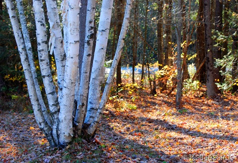 3. birch trees-kab