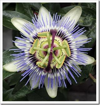 110712_Passiflora-cerulea_03