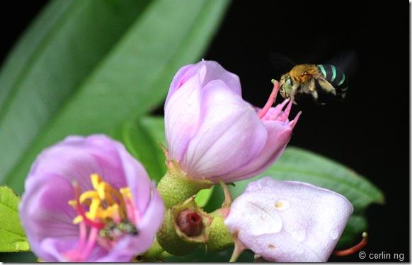 melastoma and bee