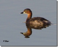 145 Little Grebe. ( Nani Dubki )