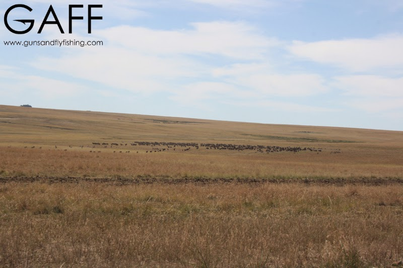 Black-Wildebeest-Hunting (3).jpg