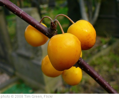 'Yellow fruitfulness' photo (c) 2008, Tim Green - license: http://creativecommons.org/licenses/by/2.0/