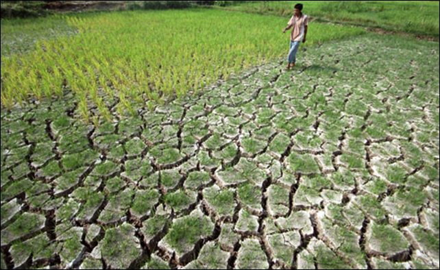 Parched: A farmer walks through a dry paddy field in Kototangah subdistrict, Padang, West Sumatra on 18 February 2014. Hundreds of hectares of farmland in Kototangah and Kuranji sub-districts are facing crop failure due to drought. Photo: Iggoy el Fitra / Antara