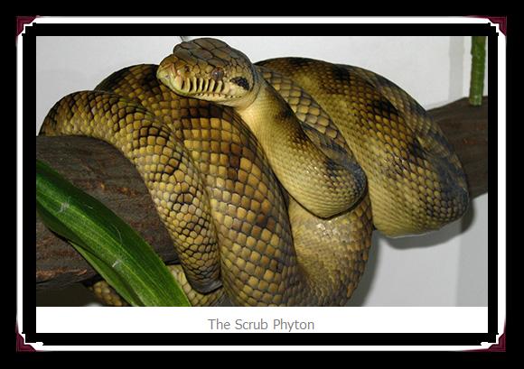Largest no Veno Snake  Scrub Python