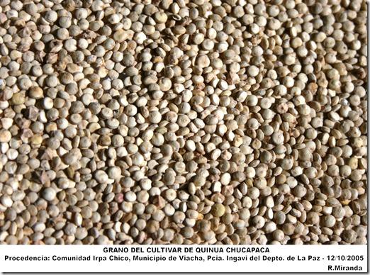 Grano_del_cultivar_de_Quinua_Chucapaca-cultivado _en_el_Altiplano_Norte_circunlacustre_de_La_Paz-2005-laquinua.blogspot.com