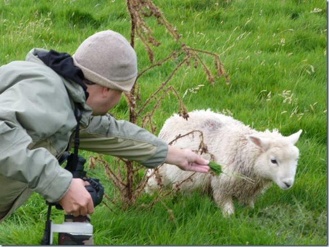 jono sheep