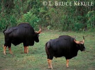 Amazing Pictures of Animals, photo, Nature, exotic, funny, incredibel, Zoo, Bos javanicus, banteng, Alex (14)
