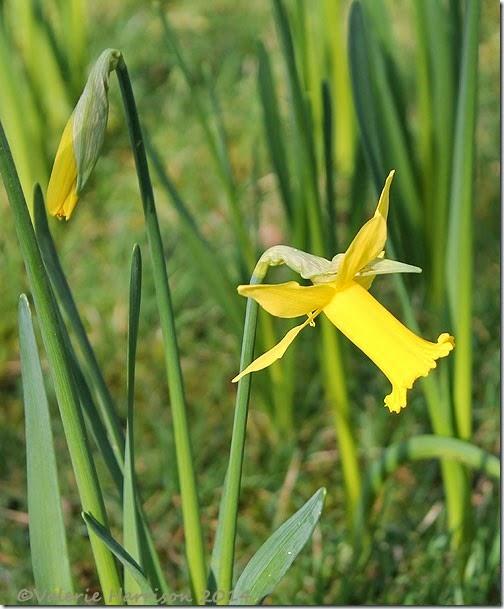 31-daffodil