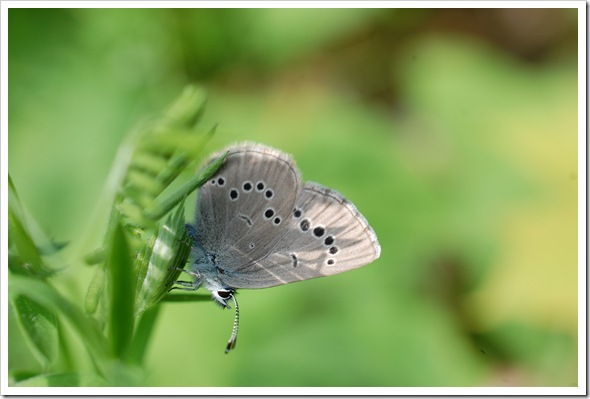 BUTTERFLY BLUE (17)