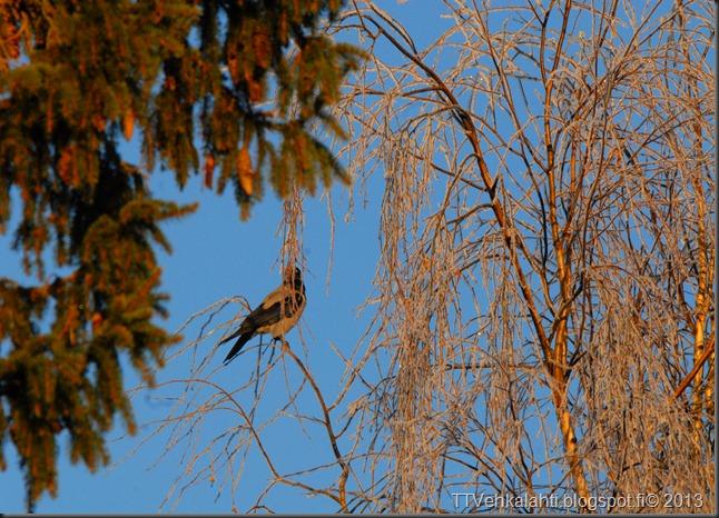 lintusia puun latvoja 029