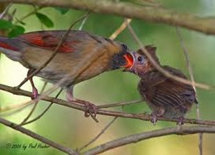 Amazing Pictures of Animals,photo, Nature, exotic, funny, incredibel, Zoo, Northern Cardinal, (Cardinalis cardinalis), Bird, Aves, Alex (17)