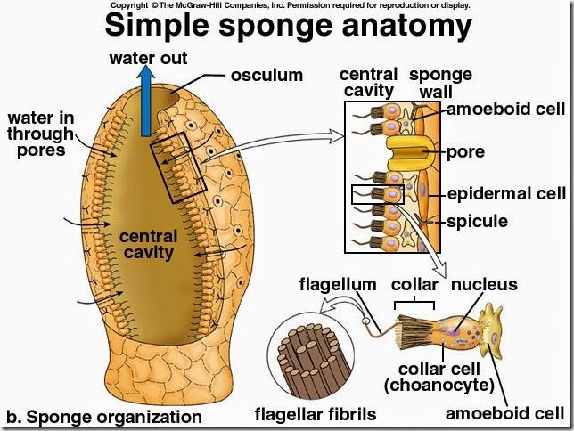 anatomi porifera 1