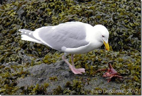 gull-crab1-sm_Barb-Derksen