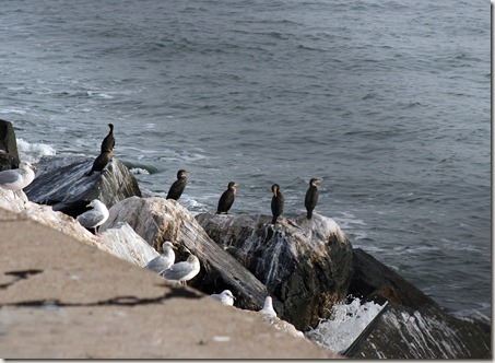 double-breasted cormorants, gulls, Chesapeake Bay