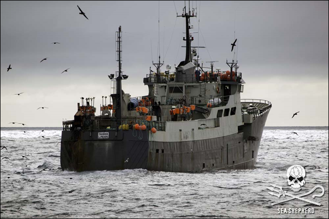 Plundering 'white gold': The Nigerian-registered toothfish poaching vessel, 'Thunder', flees Australian Sea Shepherd boats after fishing illegally in the Southern Ocean. 'Thunder' is black-listed by Commission for the Conservation of Antarctic Marine Living Resources (CCAMLR) and has been issued an Interpol Purple Notice. Photo: Simon Ager / Sea Shepherd
