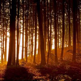 by Siniša Almaši - Landscapes Forests ( tree, nature, color, morning, landscape, light, woods, sun, forets )