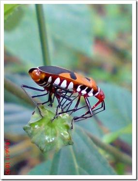 Dysdercus cingulatus (Bapak Pucung) Mating
