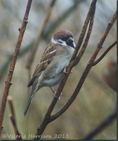 26-tree-sparrow