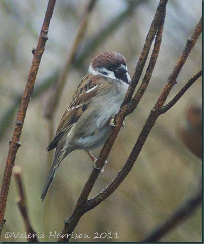 26-tree-sparrow