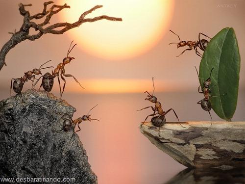 formigas inacreditaveis incriveis desbaratinando  (4)