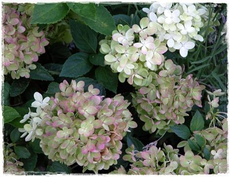 6 hortensia