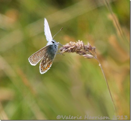 33-common-blue
