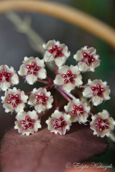 Hoya sp. Phu Wua