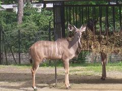 2008.05.26-003 grand koudou