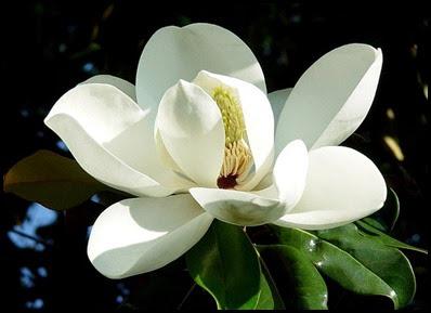 magnolia_flower2