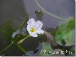 龍骨辦莕菜的花瓣中間突起