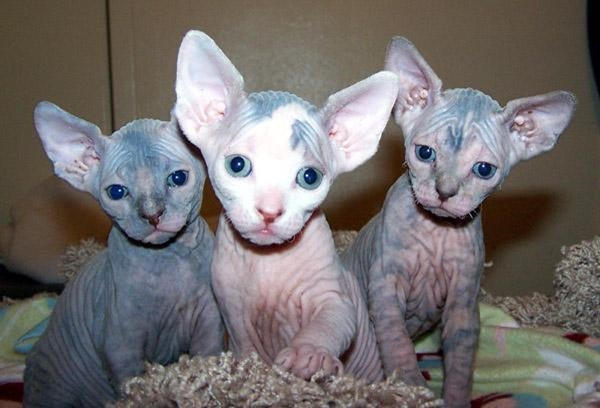 hairless cute cats