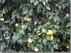 This beautiful grapefruit tree reliably bears several months supply of fruit each year with no maintenance. We've learnt to enjoy a small glass of freshly-squeezed juice for breakfast each day.