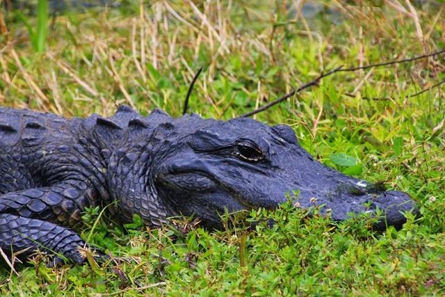 Alligator Everglades 2