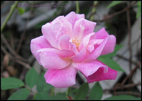 03-02-old-blush