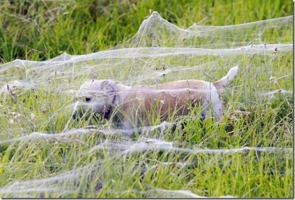 spiders-invading-australia-6