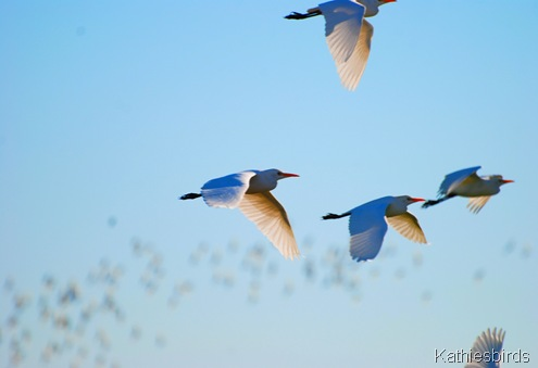1. Flying egrets-kab