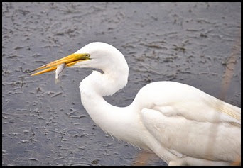 03a7f - Causeway- Gator crossing - Great White Egret