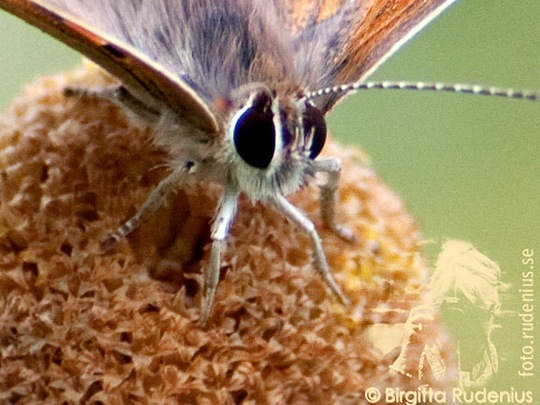 butterfly_20110730_brown1a