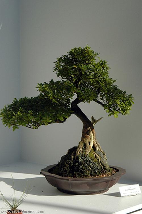 bonsais arvores em miniatura desbaratinando (49)