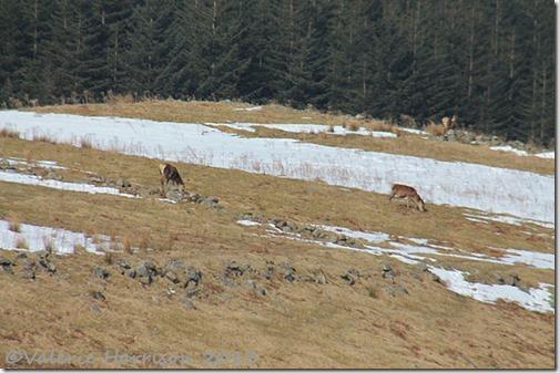 36-red-deer