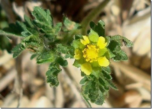 Potentilla supina L. (La zaida%2c Used) -4