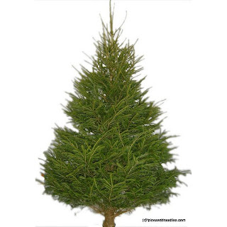8ft spruce