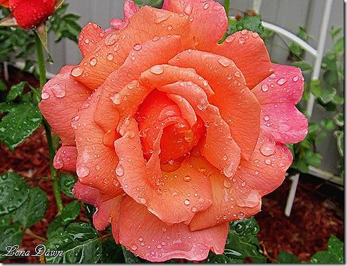 Rose_Easy_DoesIt_Rain