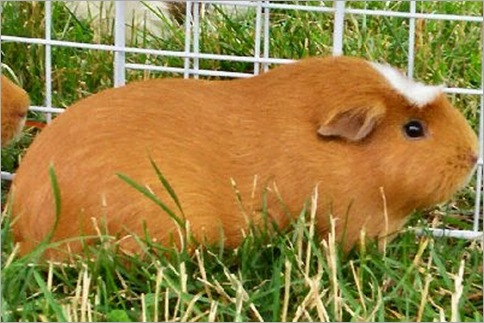 White-crested Guinea Pig 01