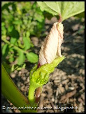 Abelmoschus esculentus (Okra o Gombo) (2)